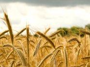 Если зерно не умрет